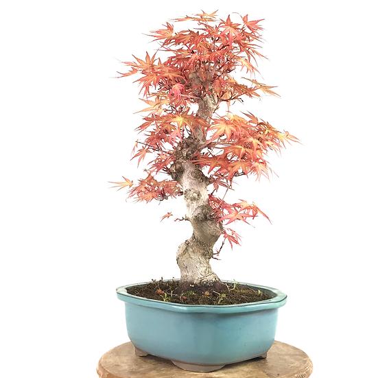 ERABLE Rose du japon 'Seigen'+20 ans 43 cm de hauteur   A34