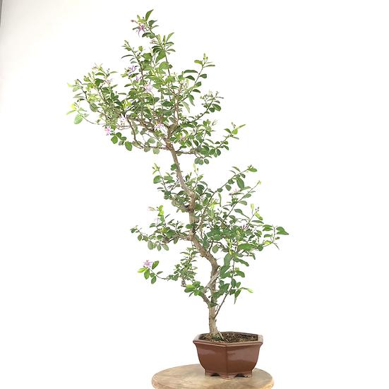 GREWIA Occidentalis 16 ans 78 cm de hauteur   A97