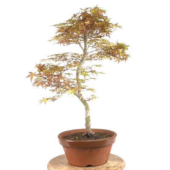 ERABLE Rose du japon 'Seigen' de 18 ans 54 cm de hauteur    B62