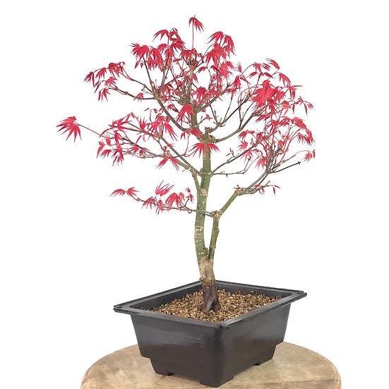 ERABLE rouge du Japon 'deshojo' 12-14 ans 39 cm de hauteur   B21