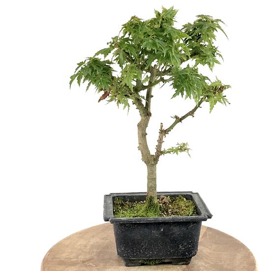 ERABLE du Japon Rosé 'Koto Hime' 9-10 ans de 31 cm de hauteur  R.85