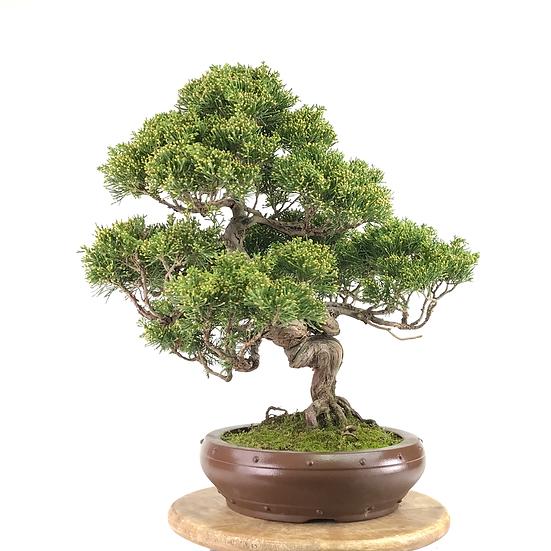 JUNIPERUS Chinensis Itoigawa de +20 ans 43 cm de hauteur   E13