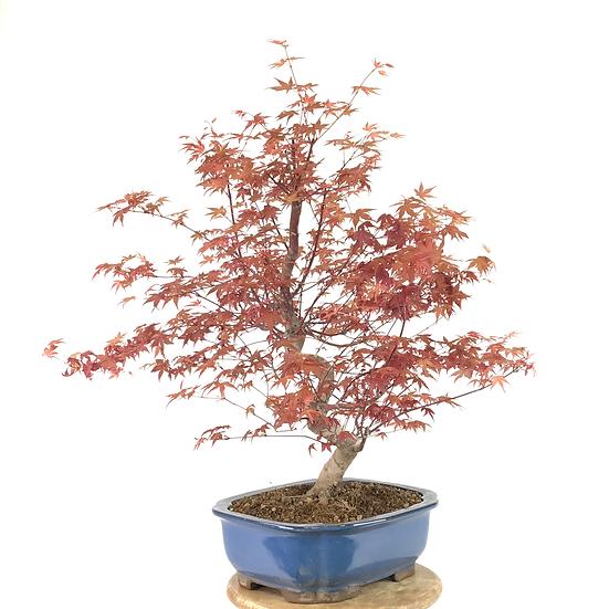 ERABLE rouge du Japon 'deshojo' +25 ans de 67 cm de hauteur   B90