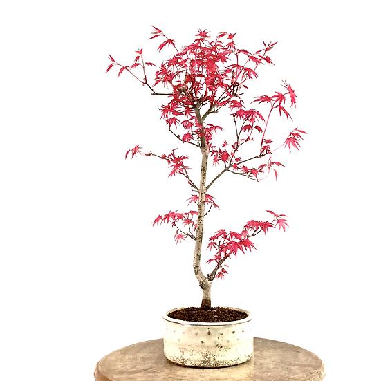 ERABLE rouge du Japon 'deshojo' 9-10 ans 42 cm de hauteur   C32