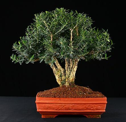 paris-bonsai-buxus