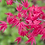 Thumbnail: ERABLE rouge du Japon 'deshojo' 12-14 ans 41 cm de hauteur   A35