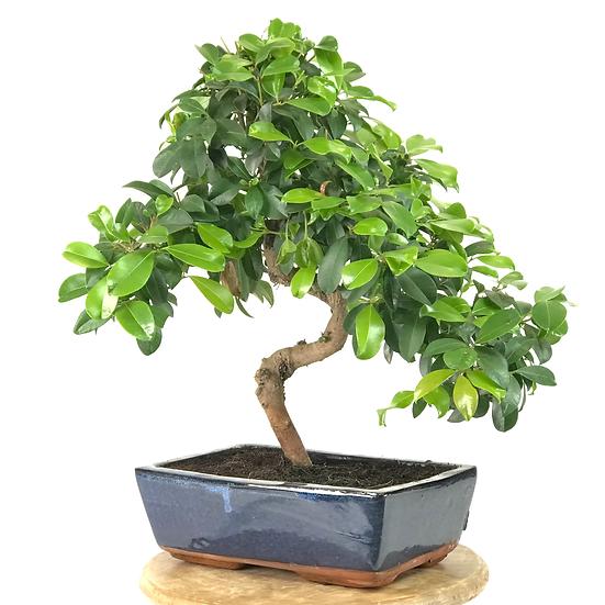 EUGENIA Myrtifolia 11-12 ans 42 cm de hauteur   B10