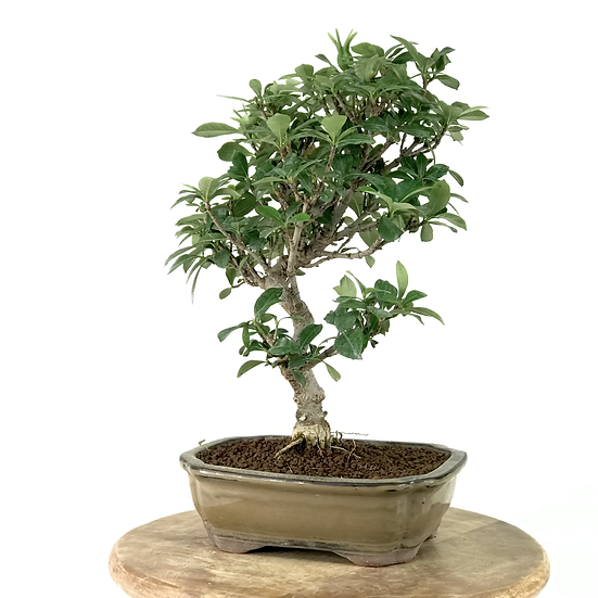 GARDENIA Jasminoides 10 ans de 32 cm de hauteur   B57