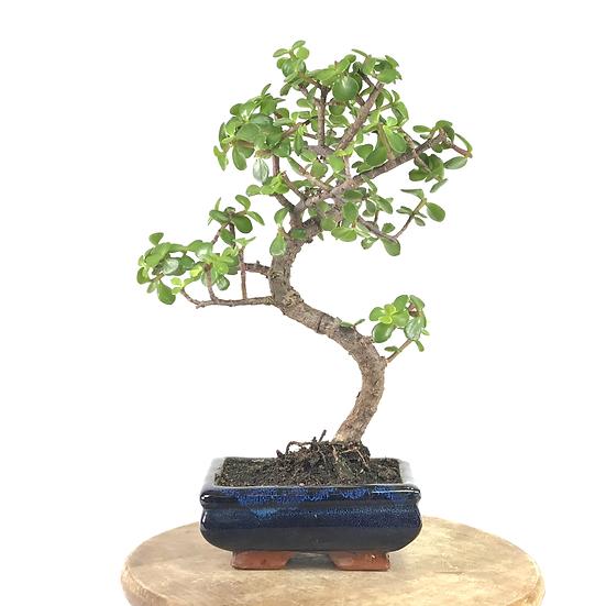 ARBRE de JADE de 7-8 ans 35 cm de hauteur   C15