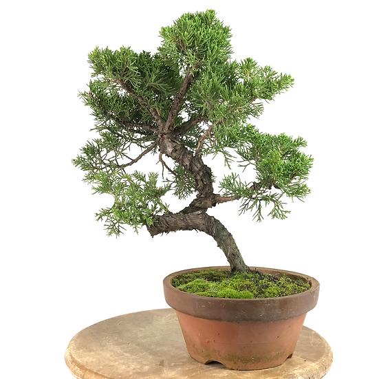 JUNIPERUS Chinensis Itoigawa Pré Bonsai 13-14 ans 34 cm de hauteur   C19