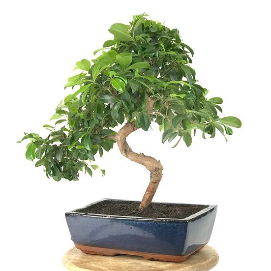 Exemplaire d'EUGENIA Myrtifolia 11-12 ans 35/45 cm de hauteur