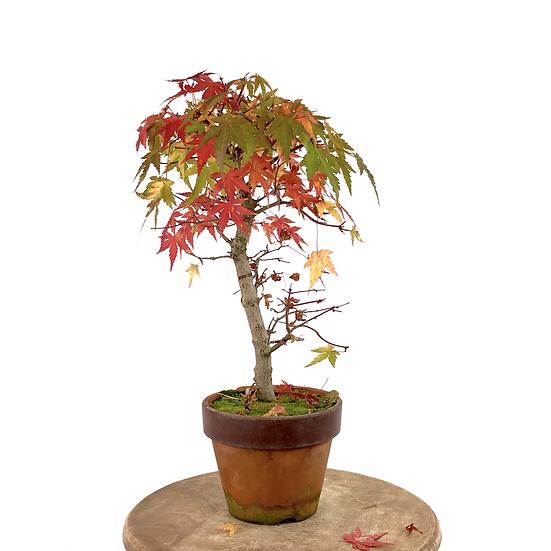 ERABLE du Japon Orangé 'Katsura' 11-12 ans de 39 cm de hauteur  R.64