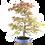 Thumbnail: ERABLE Japonais Acer P. Yamamomijii de 20  ans 95 cm de hauteur    E22