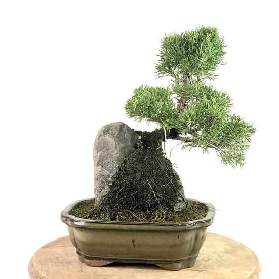 JUNIPERUS Chinensis de 11-12 ans 28 cm de hauteur Rock