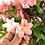 Thumbnail: AZALEE Satsuki de +25 ans  72 cm de hauteur