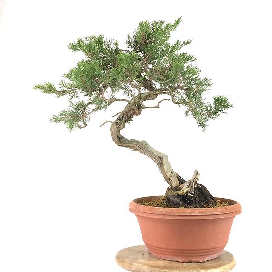 JUNIPERUS Sabina de 58 cm de hauteur YAMADORI    A15