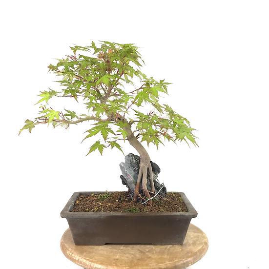 ERABLE Japonais Acer P. Yamamomijii de +16 ans 37 cm de hauteur ROCK  A07