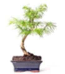 pseudolarix-paris-bonsai