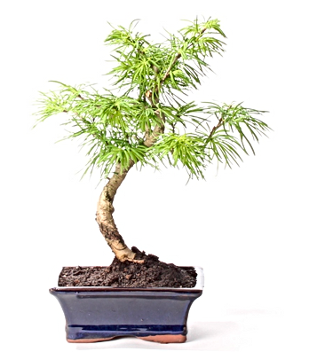 pseudolarix-paris-bonsai