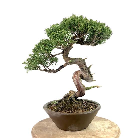 JUNIPERUS Chinensis de +25 ans 36 cm de hauteur Collection