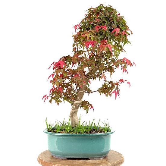ERABLE rouge du Japon 'deshojo' +15 ans 50 cm de hauteur Japon