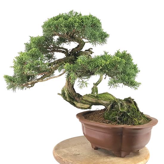 JUNIPERUS Chinensis Itoigawa de +25 ans 39 cm de hauteur   B20