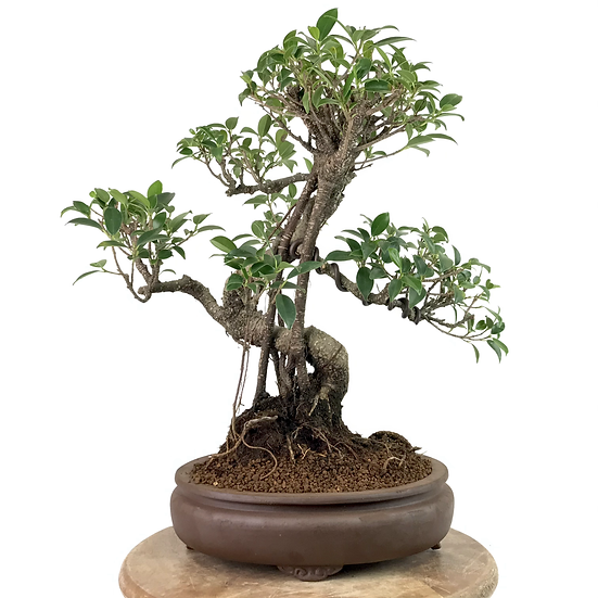 FICUS Retusa de 13-14 ans 39 cm de hauteur Roots Céramique Xyhing