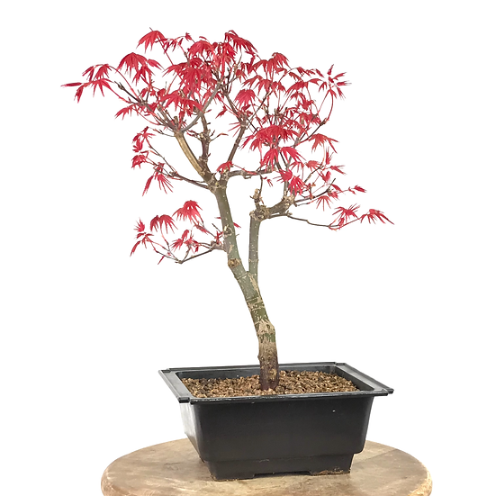 ERABLE rouge du Japon 'deshojo' 12-14 ans 37 cm de hauteur   B05