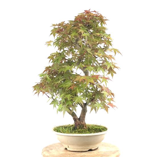 ERABLE rouge du Japon 'deshojo' +20 ans 49 cm de hauteur   B70