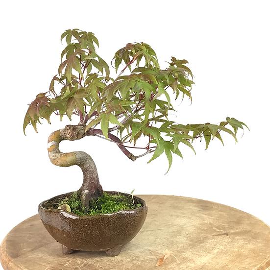 ERABLE du Japon 'Yamamomijii' 12 ans 21 cm de hauteur   C11