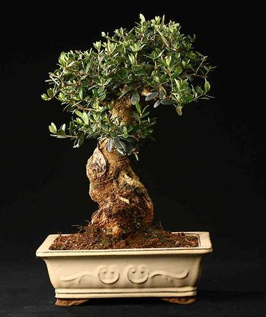 olivier-paris-bonsai