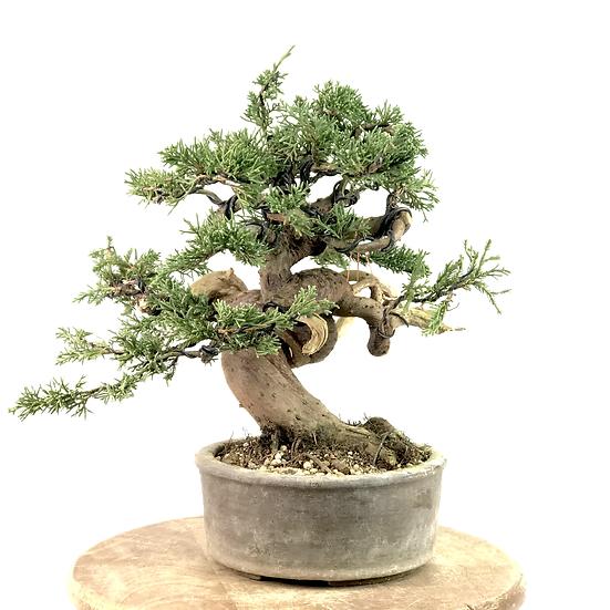 JUNIPERUS Chinensis de 25 ans 30 cm de hauteur Collection