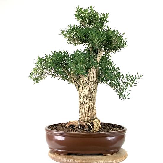 BUIS au bois de liège 20-22 ans 42 cm de hauteur   B01