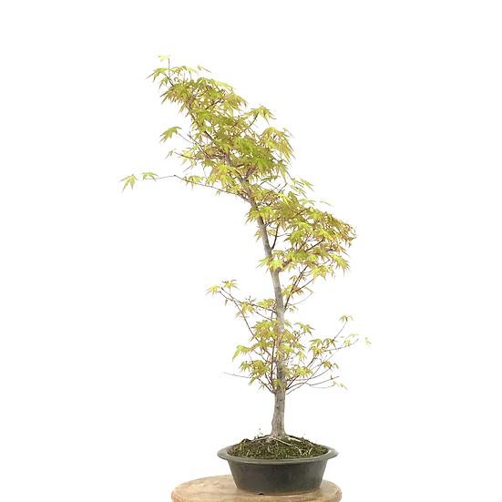 ERABLE Japonais Acer P. Yamamomijii de +15 ans 74 cm de hauteur   C17