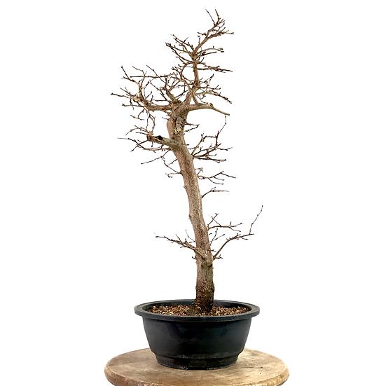 CHARME de Corée Pré-Bonsai 12 ans 54 cm de hauteur   A01