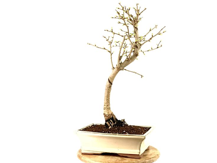 PSEUDOLARIX amabilis MELEZE Doré 13 ans de 49 cm de hauteur   B23