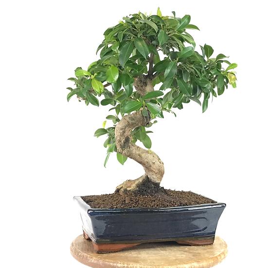EUGENIA Myrtifolia 11-12 ans 40 cm de hauteur   A27