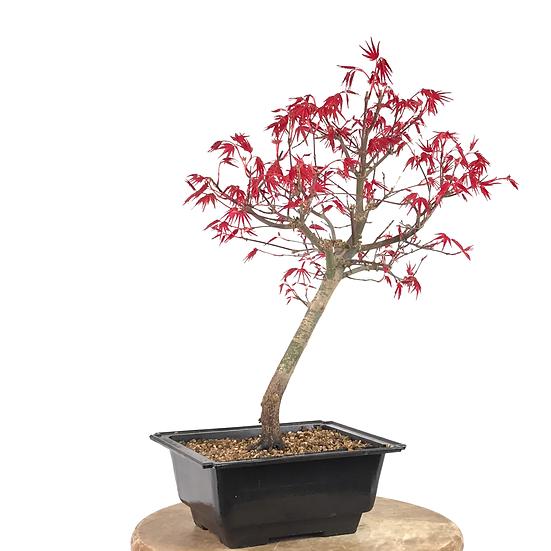 ERABLE rouge du Japon 'deshojo' 12-14 ans 41 cm de hauteur   B12