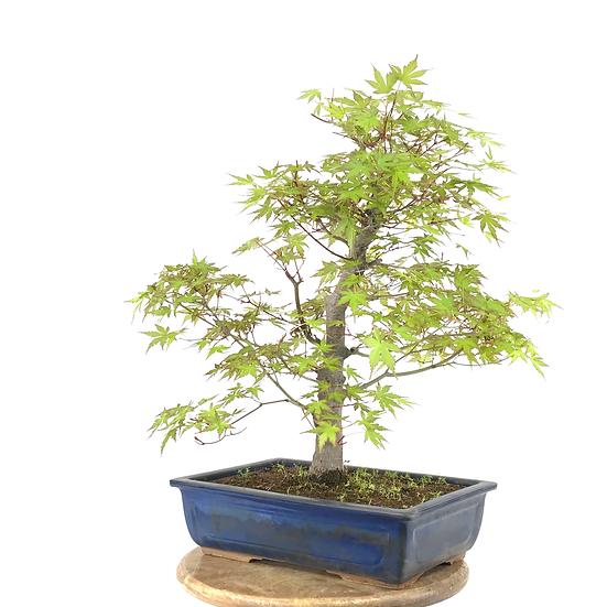 ERABLE Japonais Acer P. Yamamomijii de 17-18 ans 49 cm de hauteur   C36