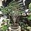 Thumbnail: PRUNIER de Java à découvrir au magasin 115 cm de hauteur +40 ans