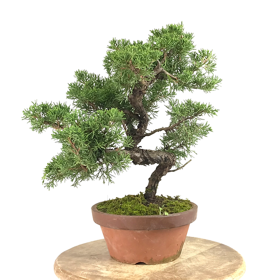 JUNIPERUS Chinensis Itoigawa Pré Bonsai 13-14 ans 34 cm de hauteur   E31