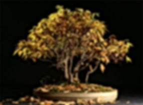 paris-bonsai-zelkova