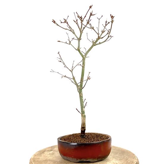 ERABLE rouge du Japon 'deshojo' 8-9 ans 39 cm de hauteur  A94