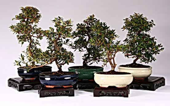 cadeaux-dentreprie-bonsai