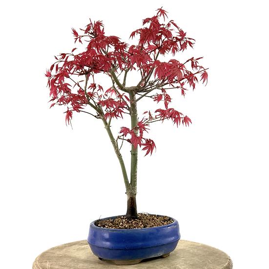 ERABLE rouge du Japon 'deshojo' 9-10 ans 34 cm de hauteur   B33
