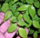 zelokva-paris-bonsai