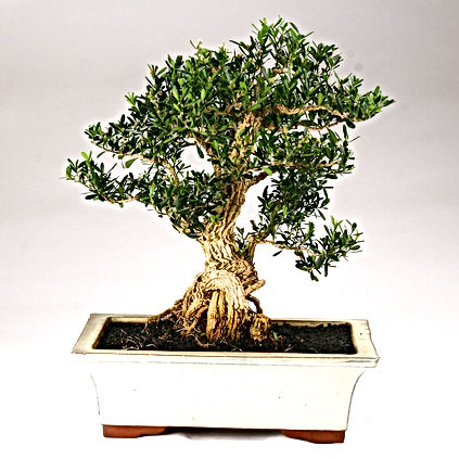paris-bonsai-buxus