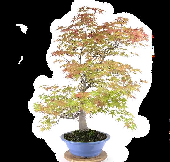 ERABLE Japonais Acer P. Yamamomijii de 20  ans 95 cm de hauteur    E22