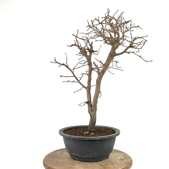 CHARME de Corée Pré-Bonsai 12 ans 45 cm de hauteur