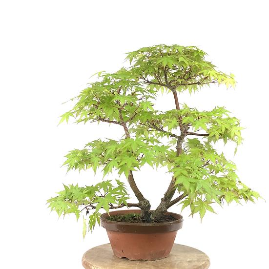 ERABLE Japonais Acer P. Yamamomijii de +20 ans 45 cm de hauteur   B80